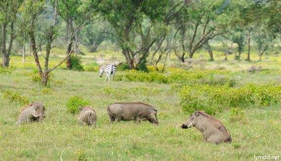 【青尚】肯尼亚12日9晚动物迁徙之旅(四大公园+两大湖区+敞篷面包车+ET转机)