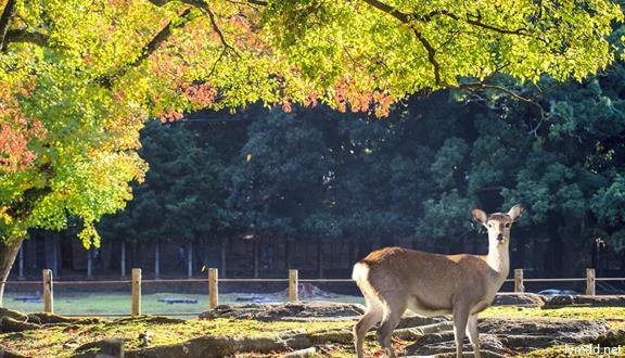 【惠玩】日本6天5晚  超值双古都 名静 初次赴日首选   京都奈良双古都  富士山神圣之旅